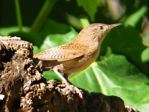 The Wren and the Oak